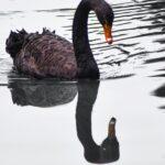 Los cisnes negros en los planes de continuidad de negocio